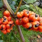 Verbesserung der kognitiven Leistung: Wissenschaft bestätigt Guarana-Wirkung