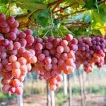 Resveratrol: Anti-Fett-Substanz aus der Rotwein-Medizin