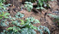 Heilpflanze aus China wirksam gegen Parkinson?